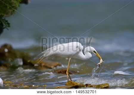 big white egret fishing (ardea alba)