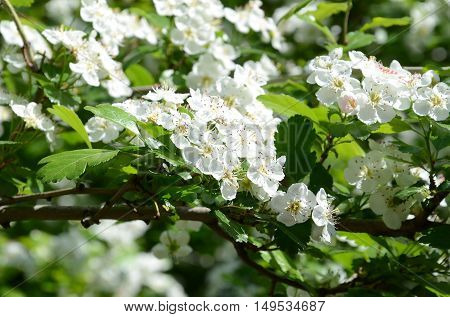 spring flowers in the month of April cherry fruit tree with white fragrant flowers