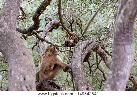 The Barbary macaque population in Gibraltar is the only wild monkey population in the European continent. Some three hundred animals in five troops occupy the area of the Upper Rock of Gibraltar.