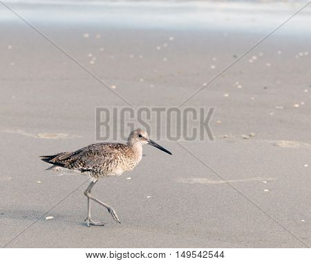 Spotted sandpiper waling on the beach; with copy space for text