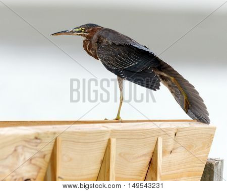 Close up of a green heron standing on a wooden railing
