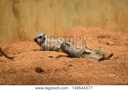 close up of a pair of cute meerkat animals relaxing in the dessert