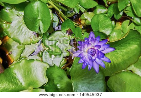 Top view of purple Water lily blooming in the pond.