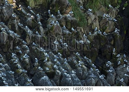 Sea gulls nest on the cliffs of the Pacific Ocean.