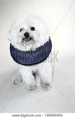 A poor little Bichon Frise has to wear her Elizabethan Collar after surgery to remove old lady dog warts, to keep her from chewing out her stitches. Dogs can develop warts with old age.