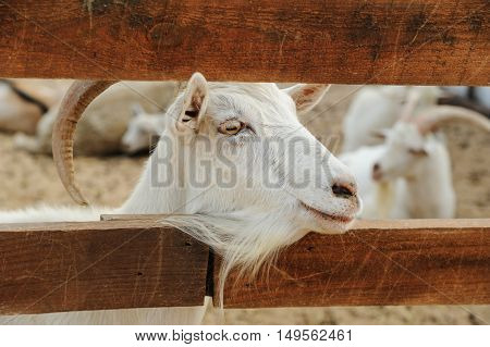 Animals in captivity. Head of goat between the fence planks.
