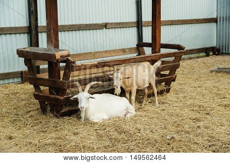 Animals in captivity. Two goats are at the trough.