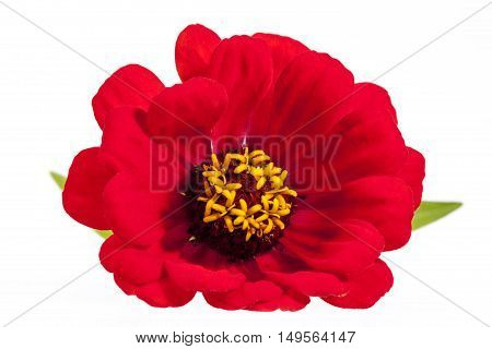 Single flower of red zinnia isolated on white background close up