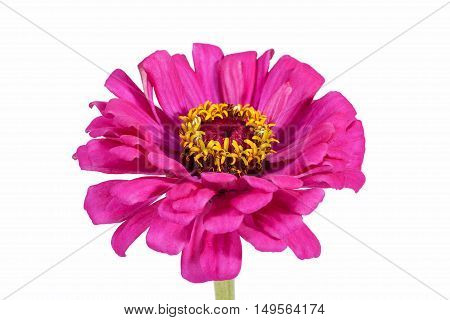 Single flower of pink zinnia isolated on white background close up
