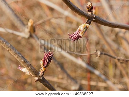 closeup of a blossoming Bud elderberry red in early spring