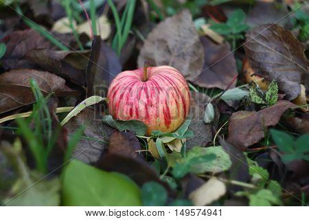 Ripe apple on autumn grass background in the garden