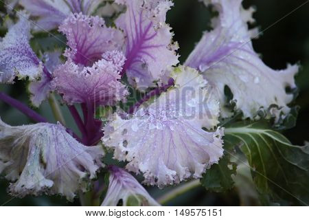 Decorative violet Cabbage brassica oleracea with dew drops close up