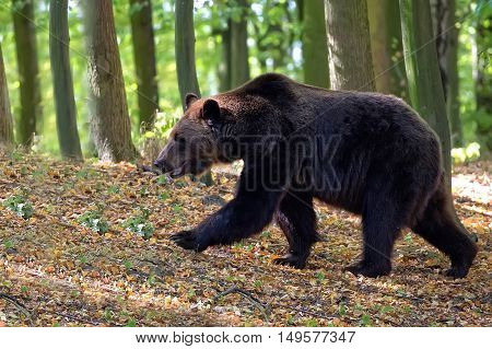 Brown bear in the forest on the run