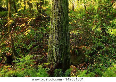 a picture of an exterior Pacific Northwest forest with a Douglas  fir in fall