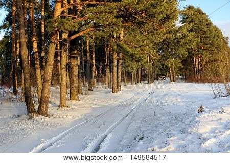 Forest In Snow In A Winter Day