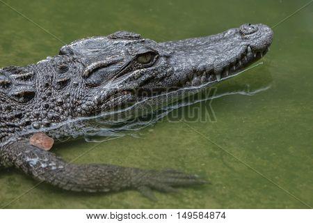 Freshwater alligator species are native to Thailand in Vietnam Cambodia Laos Thailand Kalimantan Java and Sumatra