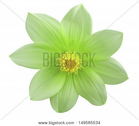 Garden green autumn flower white isolated background with clipping path. Nature. Closeup no shadows.
