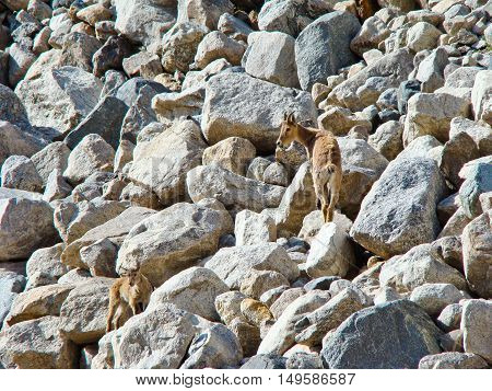 Wild goat on the rocks in Caucasian mountains