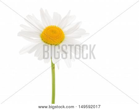 delicate white flower daisy with a yellow center on a thin curved long green stem isolated on a white vertical background