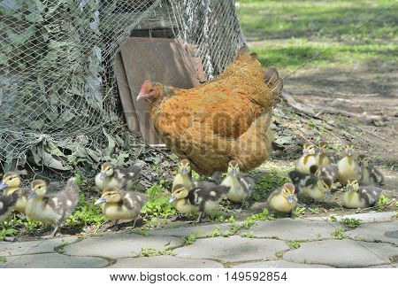 A close up of the hen with ducklings.