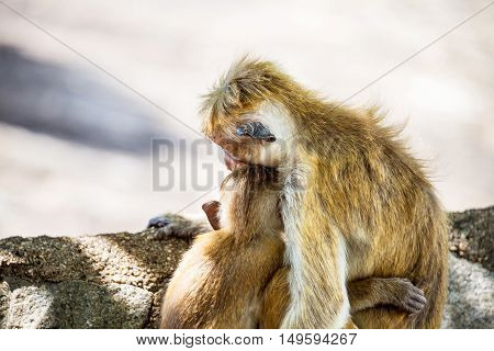 Two monkeys hugging each other. Toque macaque is a typical breed in Sri Lanka