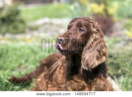 Funny Irish Setter dog licking his mouth