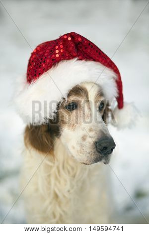 Christmas dog - Irish Red and White Setter Dog with a Santa Claus hat