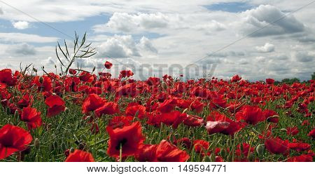 Website banner of red poppy flower field in Summer
