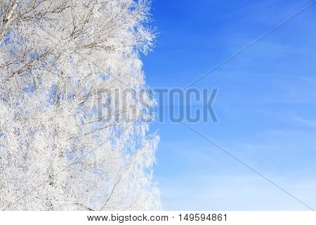 Branch Of A Tree In Snow Against The Blue Sky. Christmas.