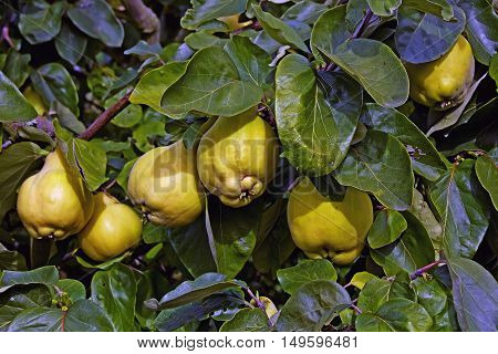 ripe quinces in a quinces-tree in late summer