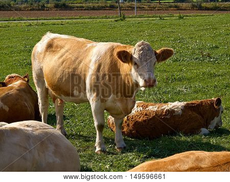Organic agriculture cows grazing on a green field meadow in nature
