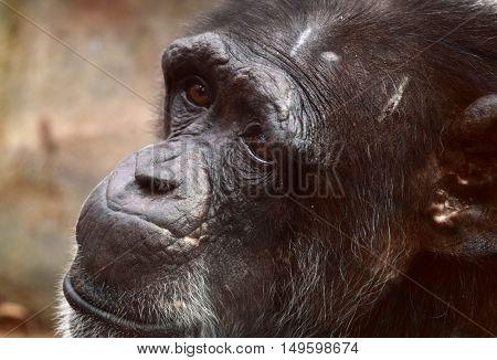 sad sorrow chimpanzee chimp monkey animal head shot close up