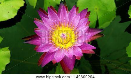blossom lotus flower in Thailand  pond; focus on flower