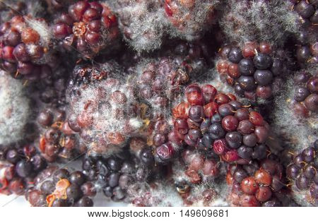 Mouldy blackberries covered in fungus and decaying