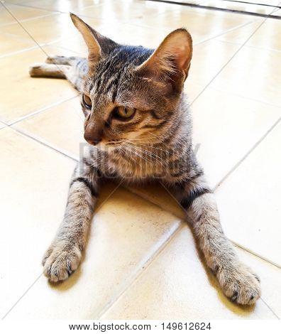Closeup of Thai Cat in Bangkok ,Thailand