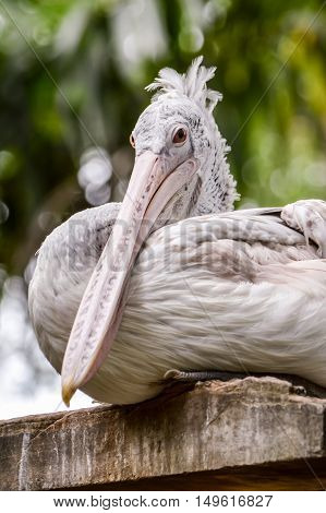 Pelican (Pelecanus onocrotalus) also known as the Eastern White Pelican Rosy Pelican or White Pelican is a bird in the pelican family