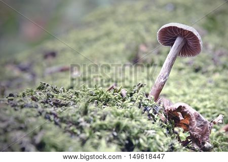 the poisonous mushroom growing on moss in the woods.