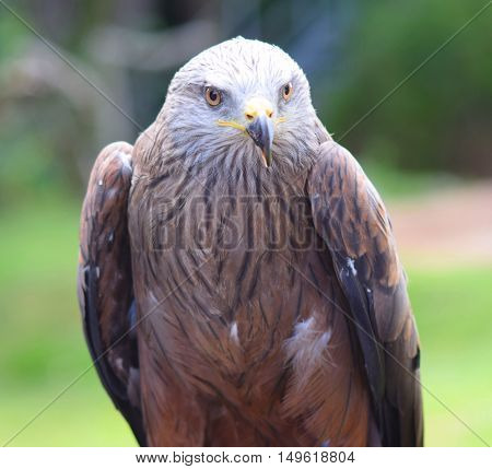 red kite bird of prey close up head shot