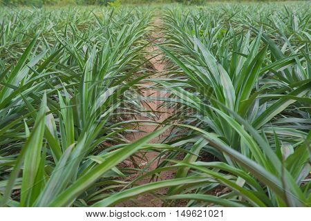 green leaf tree Pineapple plantations in rows.