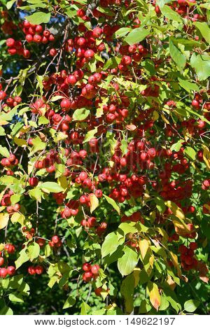 Red crab apples on a tree with foliage