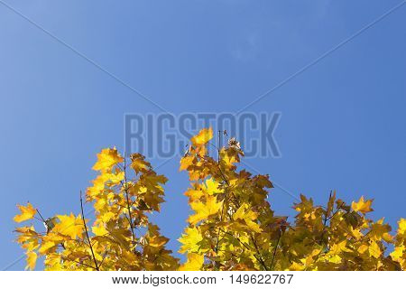Autumn leaves with the blue sky background. Low angle view. Copy space