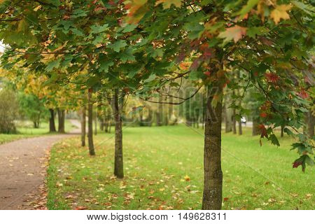 mapple alley in town park in early autumn season, calm landscape