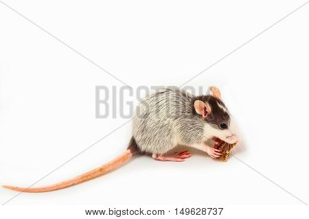 One young Husky Rat on White Background