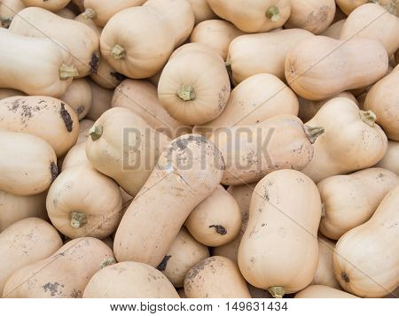 Harvest: Heap of Butternut Squash Cucurbita moschata