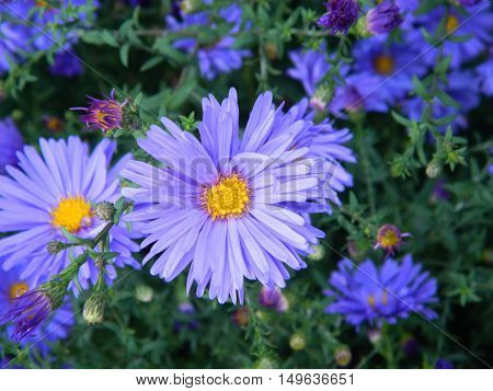 Bright blue chrysanthemum with yellow and green leaves
