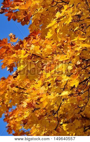 Bright golden yellow to orange Autumn tree leaves.