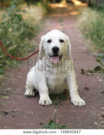 The Little Cute Labrador Puppy N The Garden