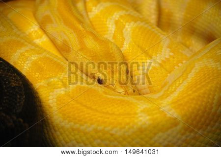 Up close look at a burmese python snake coiled up.