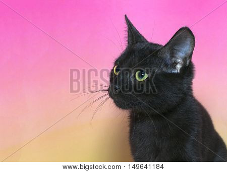 Portrait of a black domestic short hair kitten with yellow green eyes isolated on a mottled pink and yellow background cat looking to viewers left