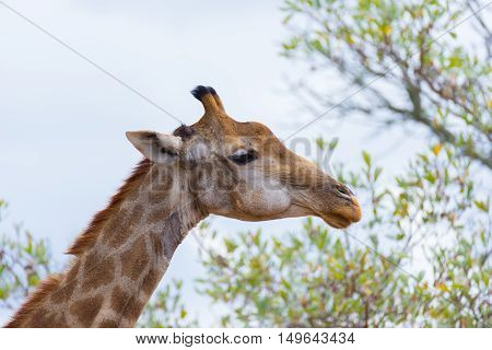 Giraffe Head And Neck Profile, Close Up And Portrait. Wildlife Safari In The Kruger National Park, T